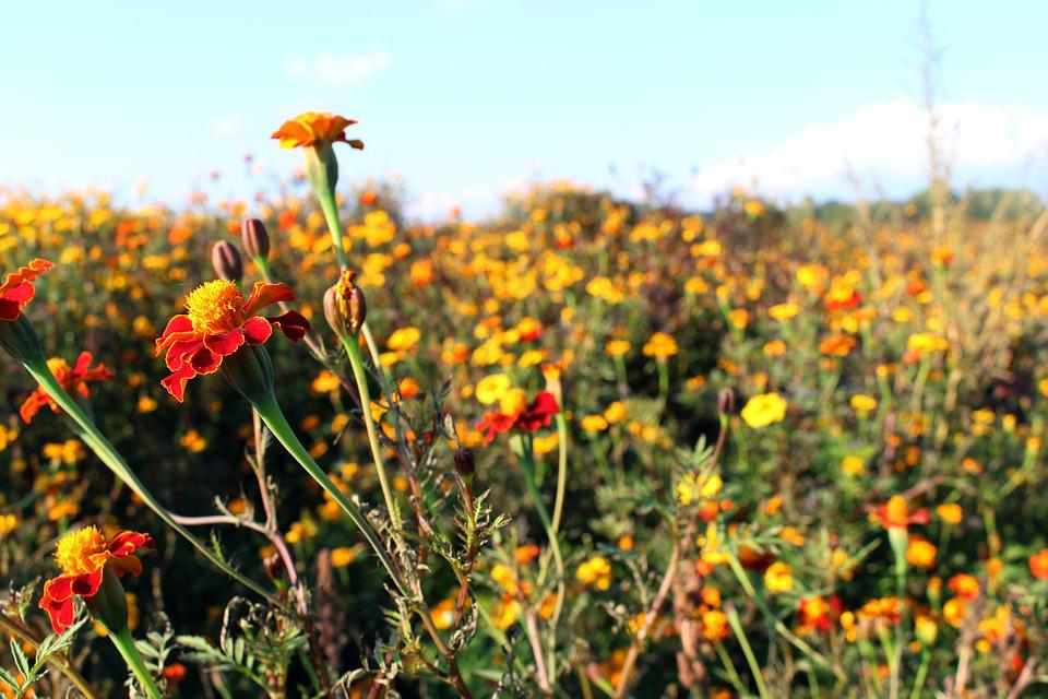 Meadow, Student Flowers, Marigold, Blossom, Bloom