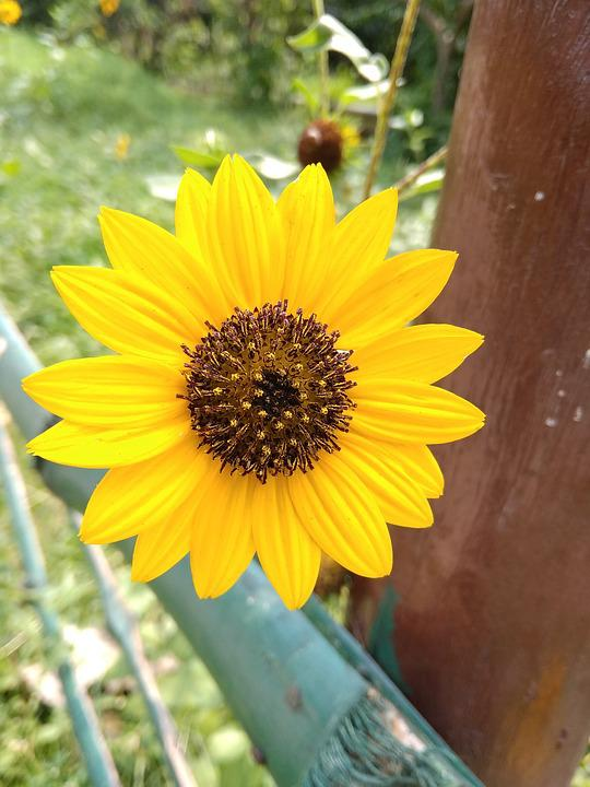 Sunflower, India New Today Time Fashion, Style, Flower