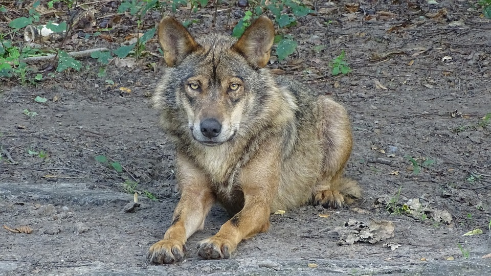 Wolf, Iberian Wolf, Subspecies, Species, Wolves