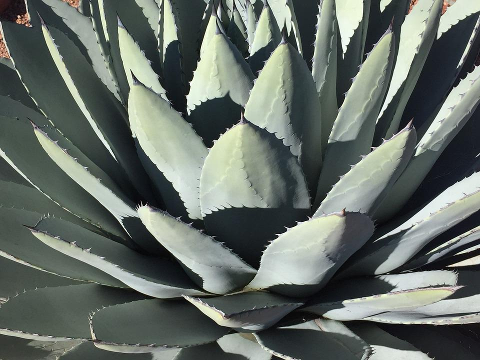 Cactus, Succulent, Agave, Aloe, Spine