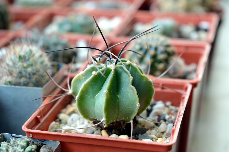 Cactus, Astrophytum, Succulent, Astrophytum Senile