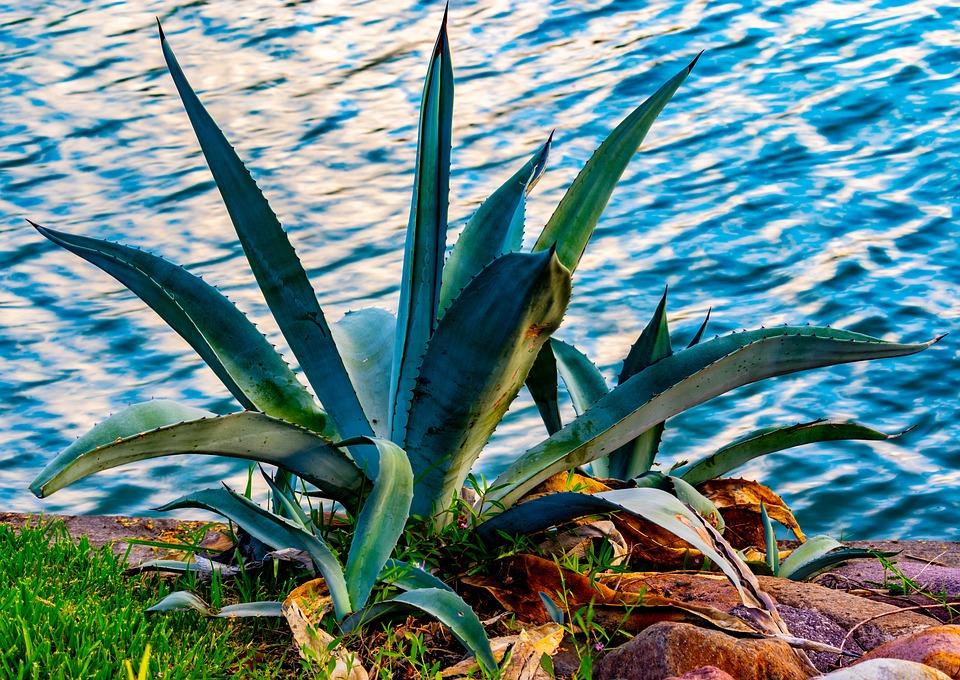 Agave, Cactus, Succulent, Plant, Rocks, Garden, Floral