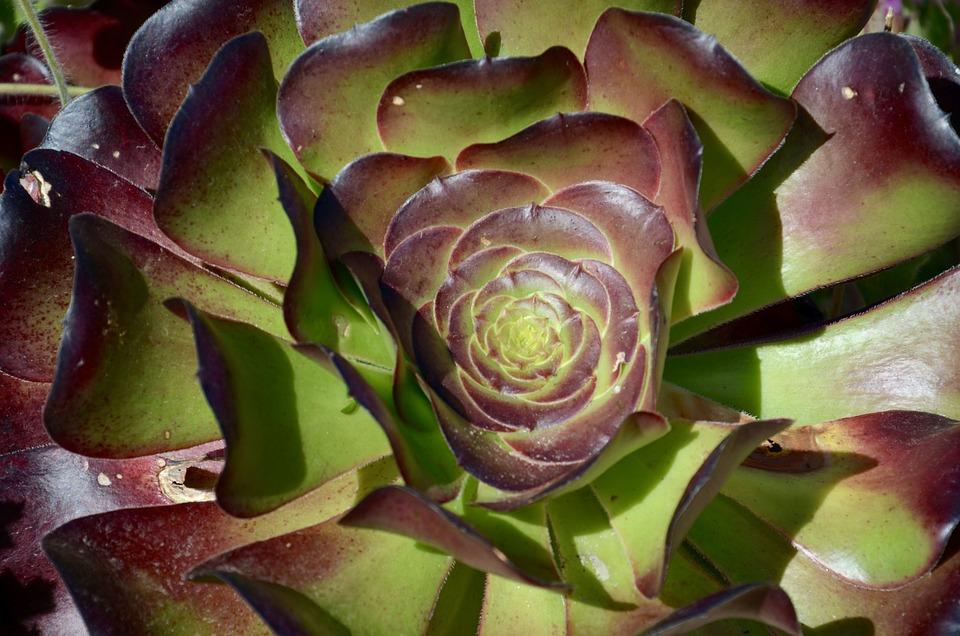 Succulent, Plant, Cactus, Green, Rosette