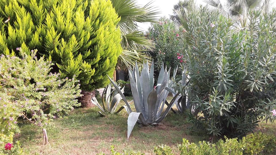 Agave, Succulent, Garden, Plant