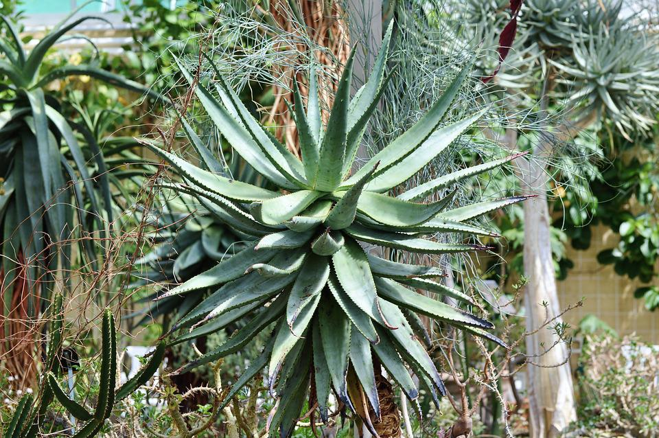 Agave, Cactus, Succulent, Spur, Prickly, Green, Desert