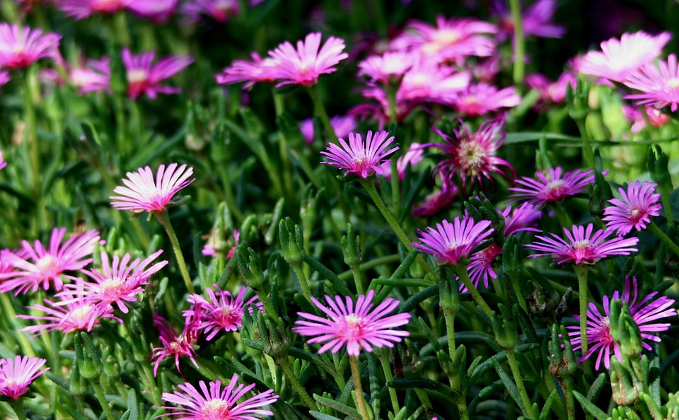 Free photo succulent pink flowers mesem vygies patch max pixel flowers vygies mesem pink succulent patch mightylinksfo
