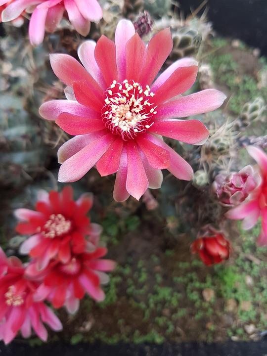 Free Photo Succulent Plant Flowers Spring Bloom Flower Cactus Max