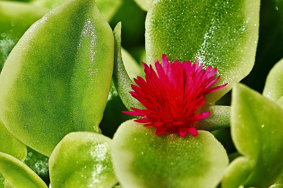 Succulent, Aptenia Cordifolia, Thick Sheet Greenhouse