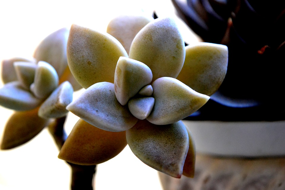 Flower, Succulents, Plant