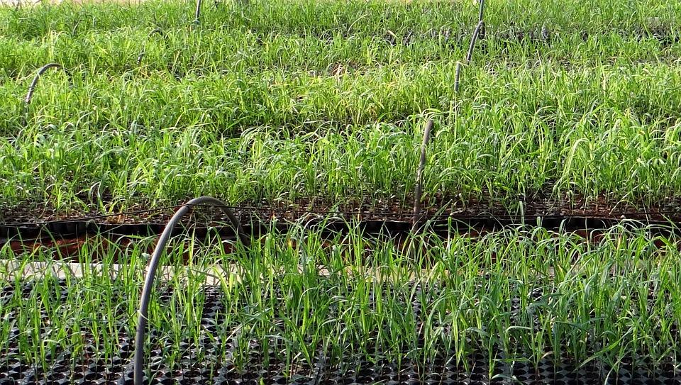Nursery, Seedlings, Sugarcane, India, Field