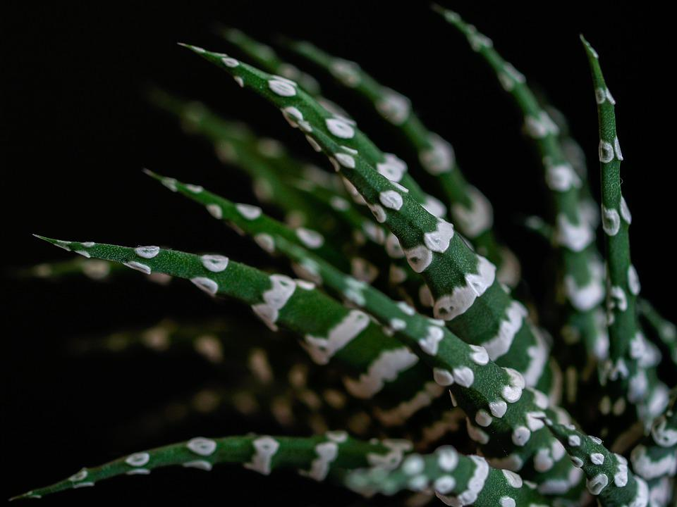 Close Up, Sheet, Sukulent, Spiked, Striped, Green