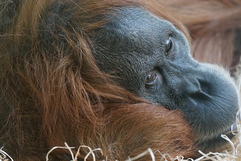 Animals, Primate, Ape, Orang-utan, Sumatra