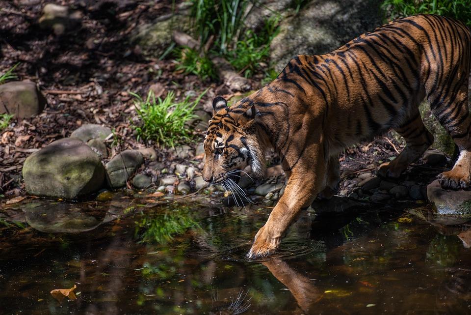 Tiger, Sumatran Tiger, Panthers Tigris, Felidae