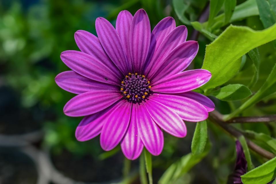 African Daisy, Nature, Flora, Flower, Summer, Garden