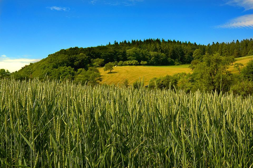 Cereals, Fields, Sky, Agriculture, Summer, Nature