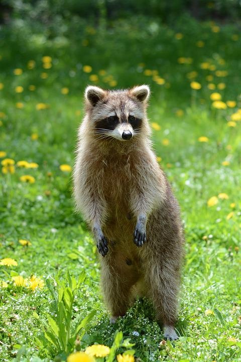 Racoon, Animal, Garden, Summer, Raccoon, Wild, Wildlife