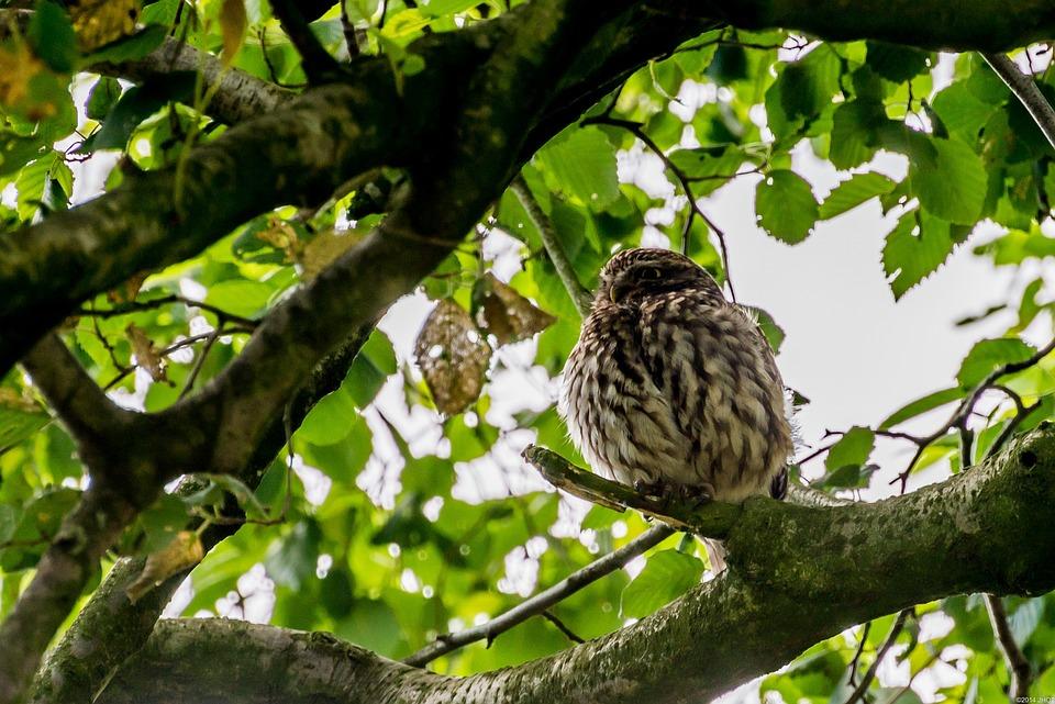 Owls, Birds, Nature, Animals, Summer, Netherlands