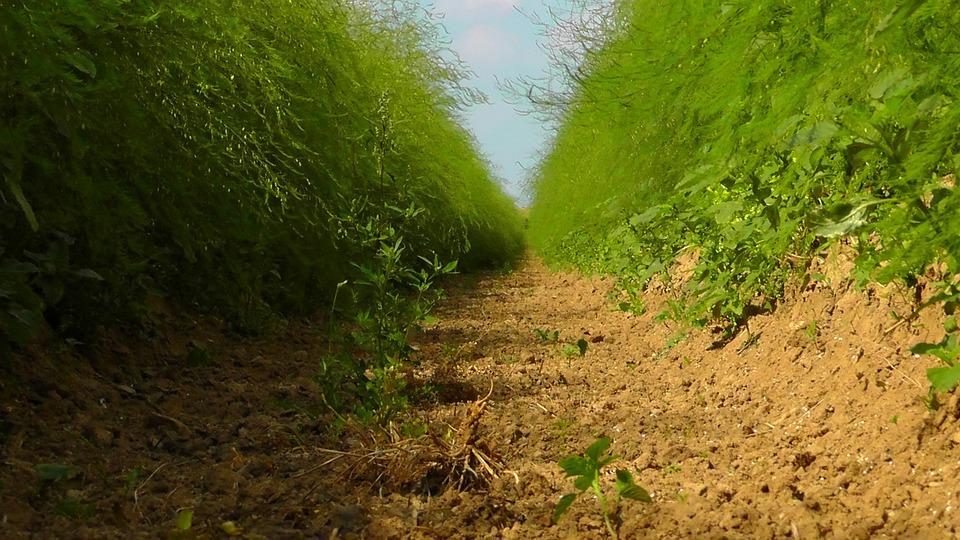 Field, Nature, Summer, Fields, Away, Asparagus Field