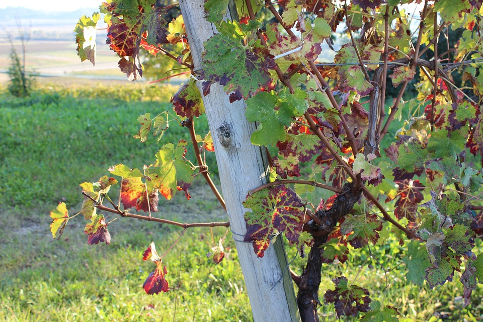 Autumn, Vineyard, Nature, Fields, Grapes, Summer