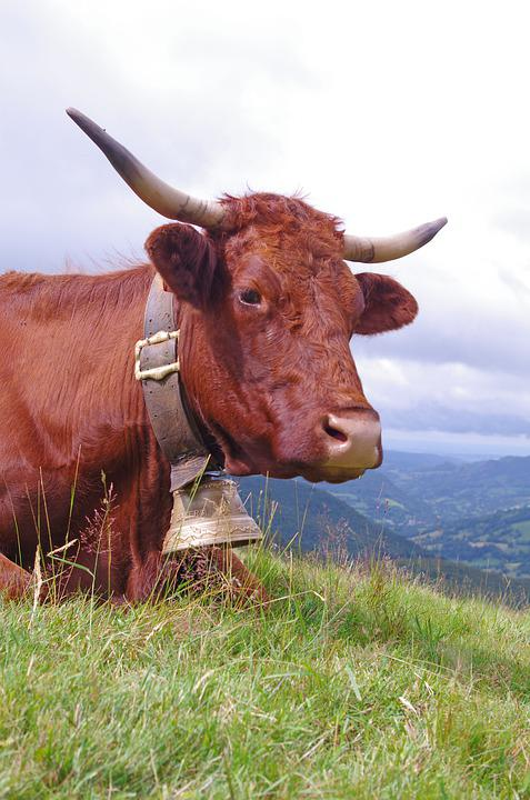 Cow, Bell, Cantal, Auvergne, Summer, Beef, Horn, Meat