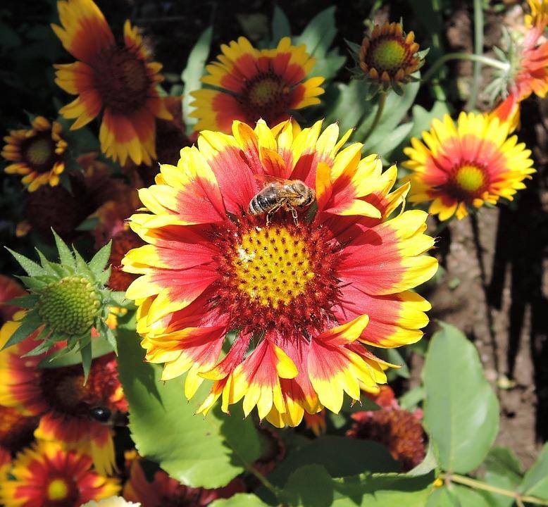 Blanket, Gaillardia, Flower, Summer, Blossom, Bloom