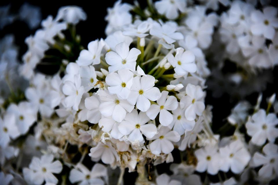 Phlox, White, Flower, Blossom, Bloom, Garden, Summer