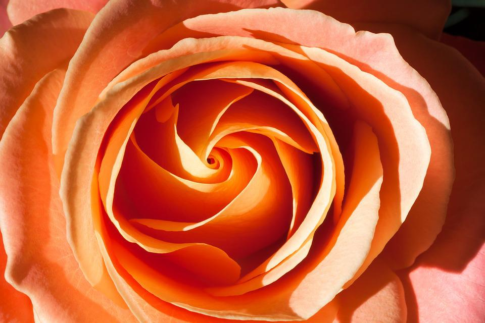 Rose, Orange, Composites, Blossom, Bloom, Summer