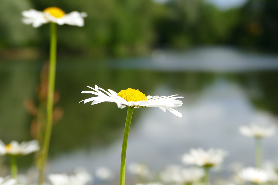 Flower, Lake, Sun, Summer, Daisy, Macro, Blossom, Bloom
