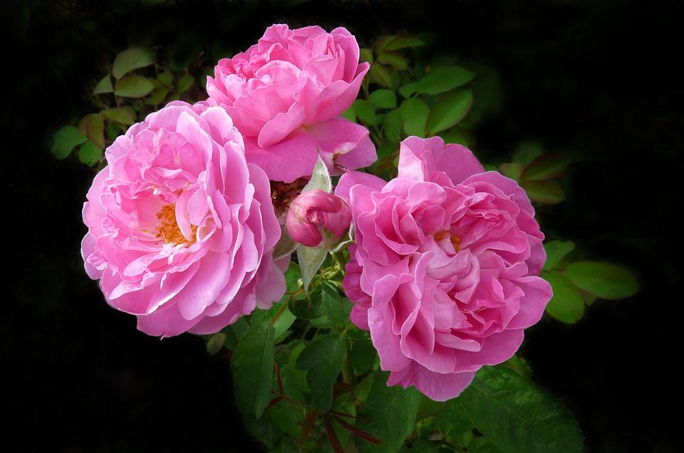 Free photo summer blooms flowers deep pink rose max pixel rose flowers deep pink summer blooms mightylinksfo