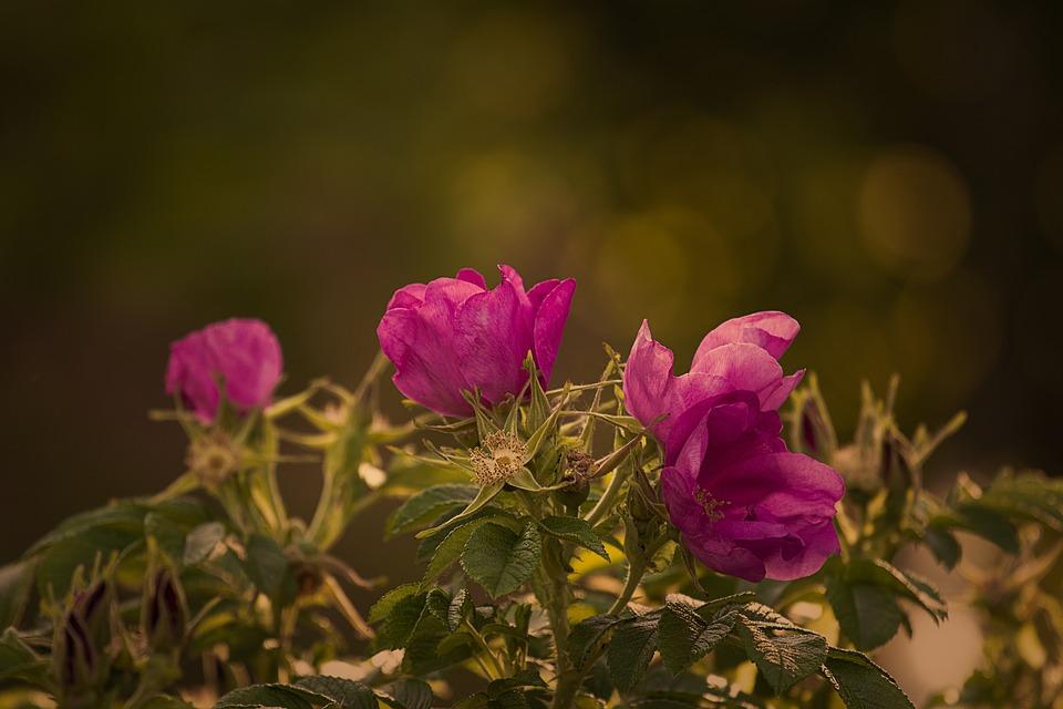 Garden Rose, Rose, Red, Summer, Blossom, Bloom, Plant