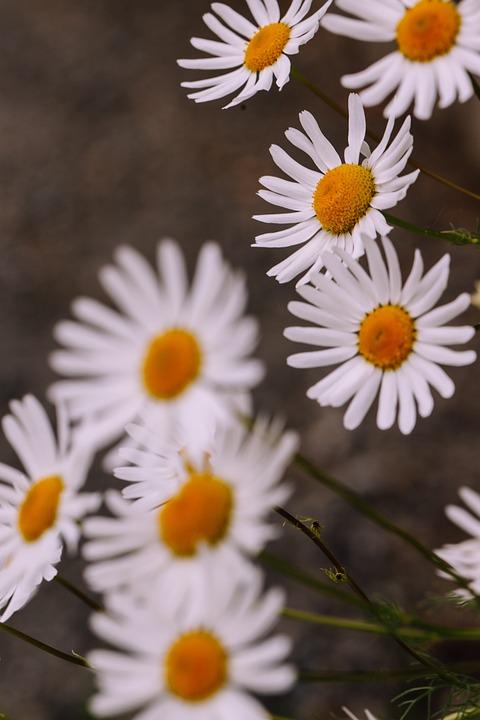Daisy, Flower, Nature, Blossom, Summer