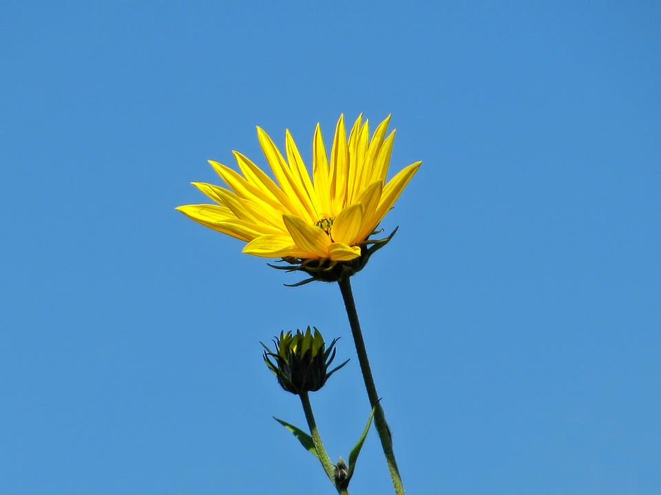 Sunflower, Flower, Blossom, Summer, Nature, Plant