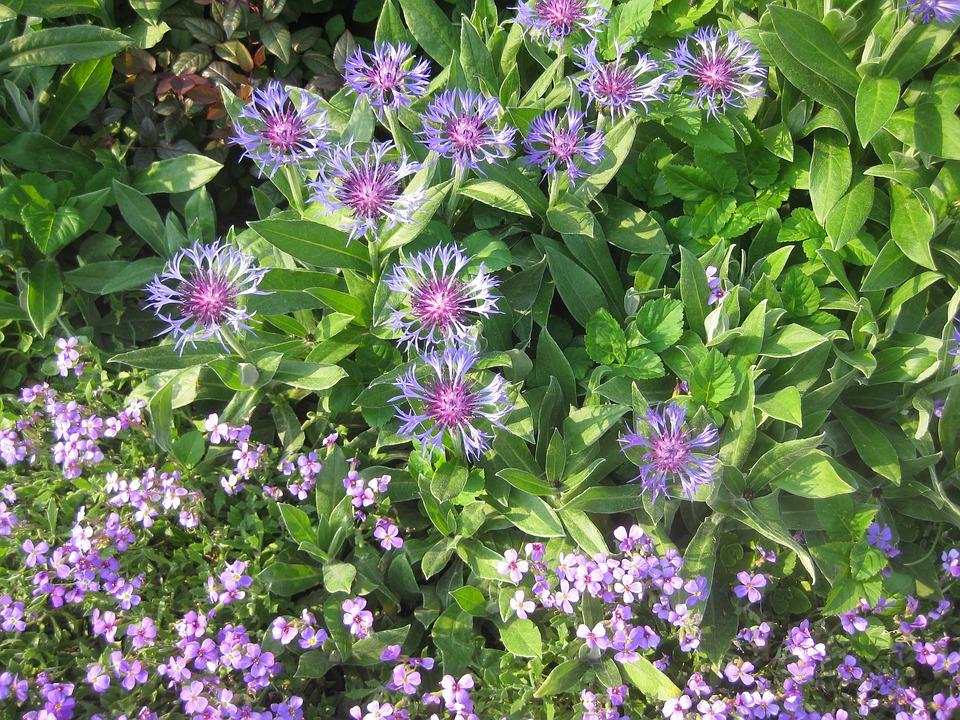 Stone Crop, Flower, Blossom, Bloom, Summer