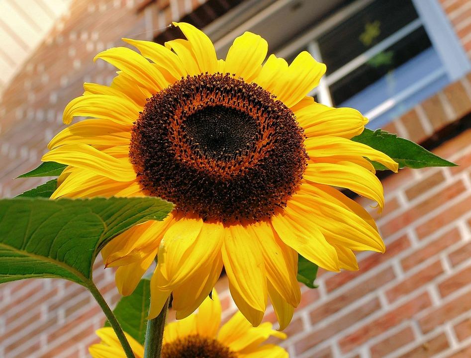 Sun Flower, Blossom, Bloom, Summer, Yellow, Petals