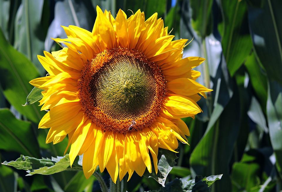 Sun Flower, Field, Nature, Summer, Yellow, Blossom