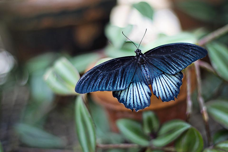 Butterfly, Blue And Black, Large, Spring, Summer