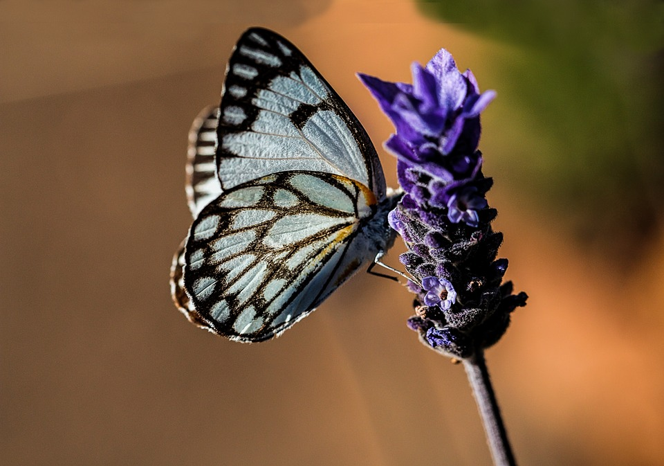 Butterfly, Blue, Nature, Lavender, Summer, Garden