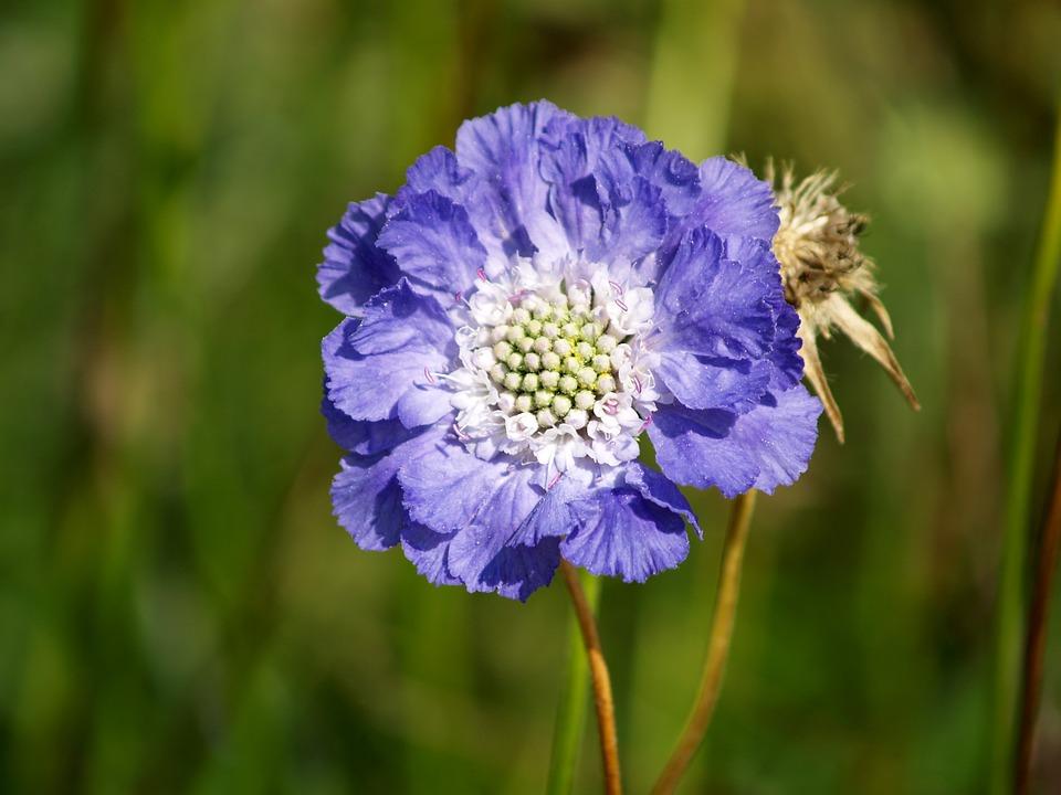 Blue Scabiosa, Flower, Blue, Summer, Plant, Nature