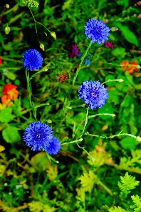 Flowers, Wild Flowers, Cornflowers, Blue, Summer, Plant