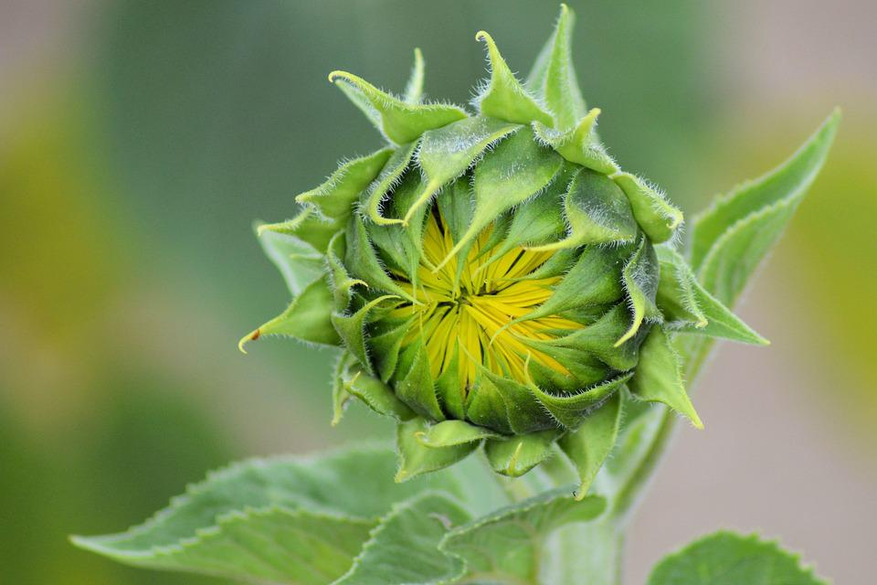 Sun Flower, Bud, Summer, Yellow, Blossom, Bloom
