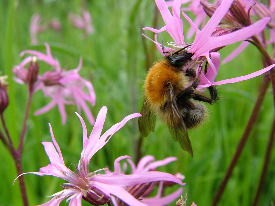 Bumblebee, Bee, Flowers, Nature, Insect, Summer, Bumble