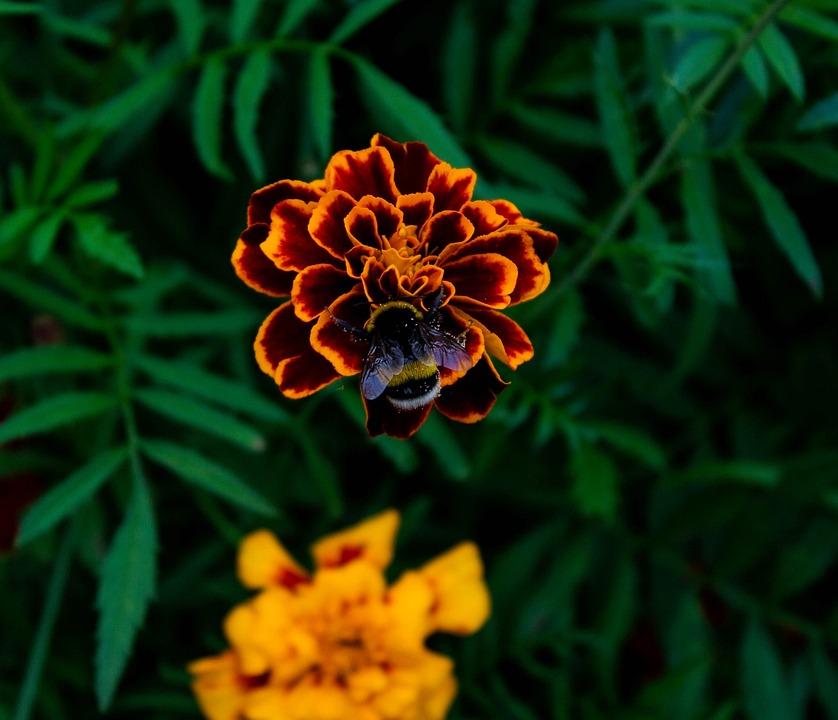 Summer, Flower, Bumblebee