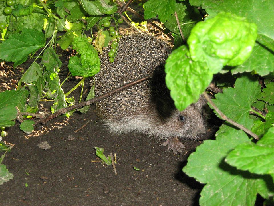 Hedgehog, Bush, Summer, Green Leaves