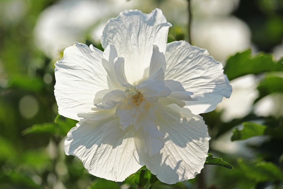 Hibiscus, Bush, Summer, Garden, Bloom, Decorative