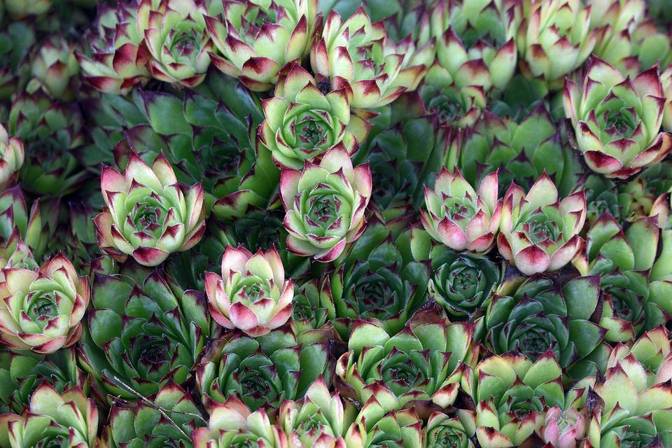 Cactus, Male, Flower, Garden, Nature, Summer, Spring