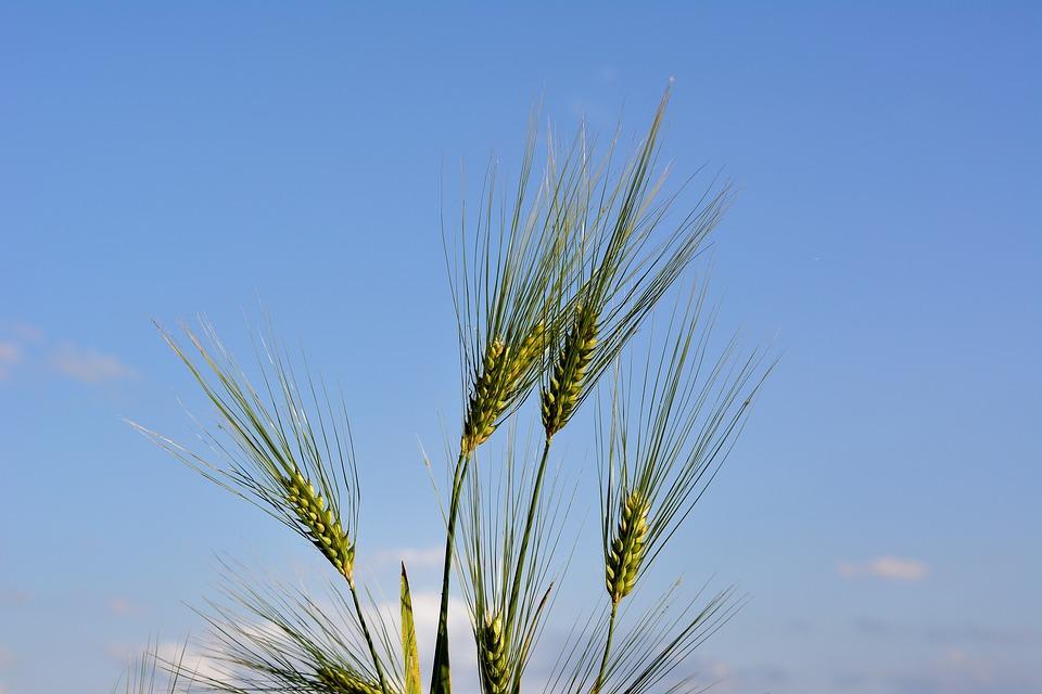 Cereals, Barley, Cornfield, Summer, Ear