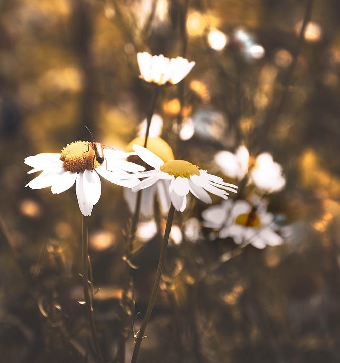 Flowers, Summer, Yellow, Wayside, Chamomile, Blossom