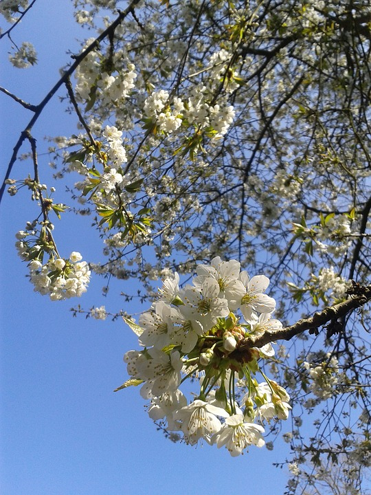 Cherry Blossoms, Summer, White Flowers, Cherry, Bloom