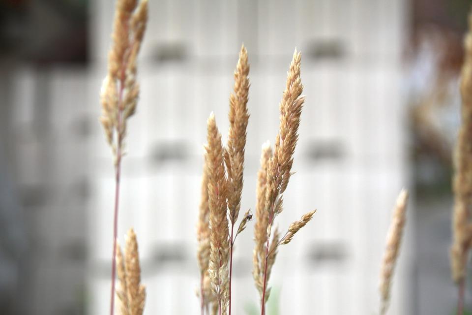 Cereals, Macro, Close, Summer, Dry