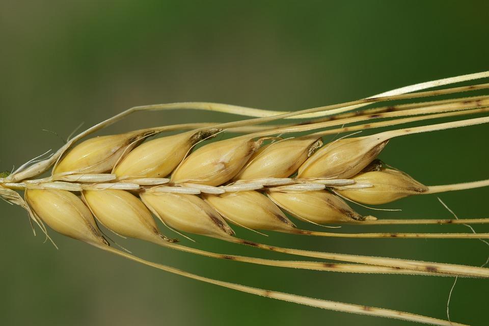 Barley, Ear, Cereals, Close, Nature, Summer